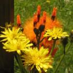 Blüten und Nocken