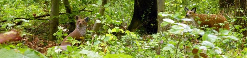 Treffen sich zwei Füchse im Wald...